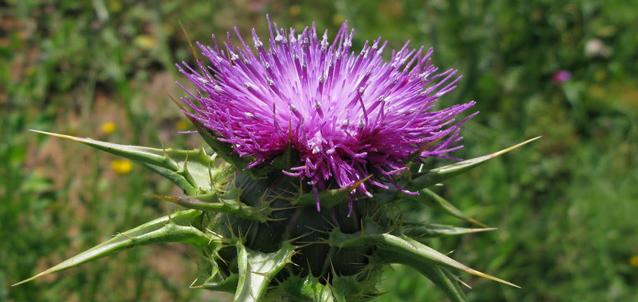 CARDO MARIANO (silybum marianum)