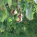 CASTAÑO DE INDIAS (aesculus hippocastanum L.)