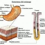Estomago Estructura 2