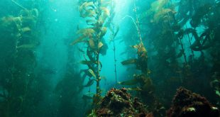 Algas Kelp, aprovecha sus cualidades para tú cuerpo