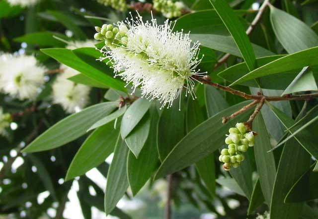CAJEPUT Melaleuca Leucadendron L