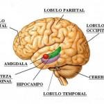 Cerebro autista