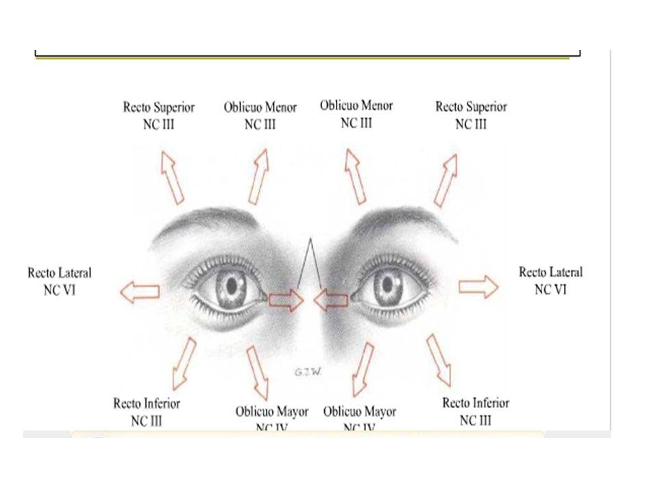 Excelente Músculos Del Ojo Ilustración - Imágenes de Anatomía Humana ...