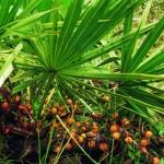 Sabal Fruechte im Wildreservat in Felda FL/USA.; Saw palmetto fruits in Wildreservation in Felda FL/USA. - (Serie mit 104 Bildern) - -; Saw palmetto fruits in Wildreservation in Felda FL/USA - (Serie mit 104 Bildern)